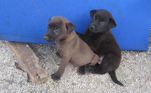 Aunty Mei's pups for adoption