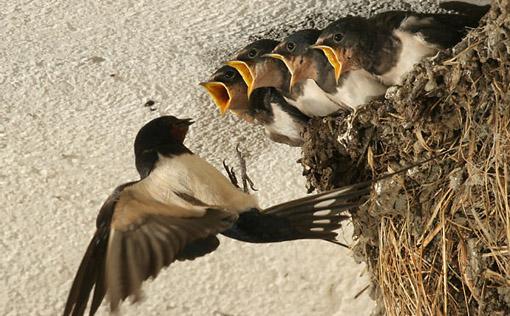 Penternakan Burung Layang Layang Sabah