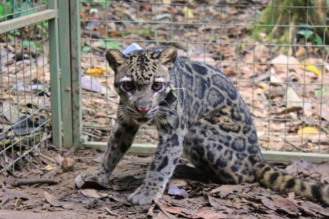 Harimau dahan betina 2