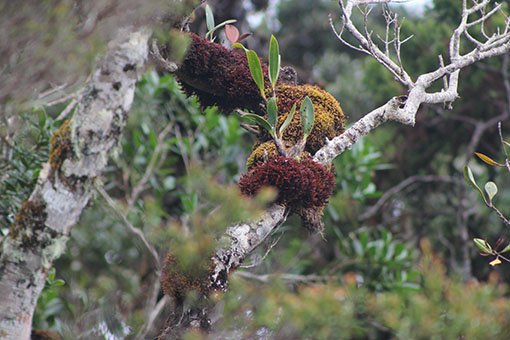 Natural floral beauty at Mt Kinabalu (Images courtesy of Antony D'Cruz)