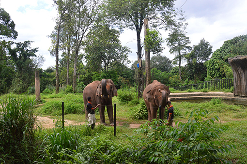Siti (left) and Sibol (right), the two elephants which are part of the sponsorship by J.C. Jacobsen Foundation.